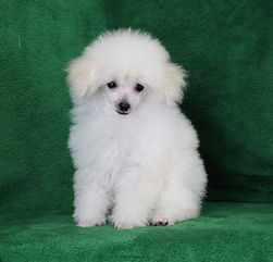 toy poodles for sale near me