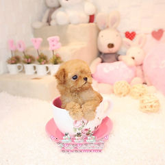 female teacup poodle