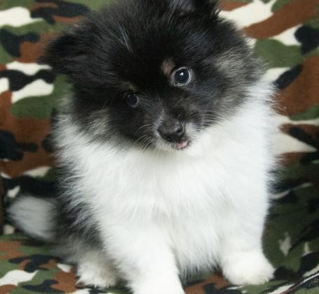 Male Pomeranian Puppy