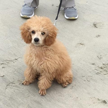 Poodle Puppies For Sale Now.jpg