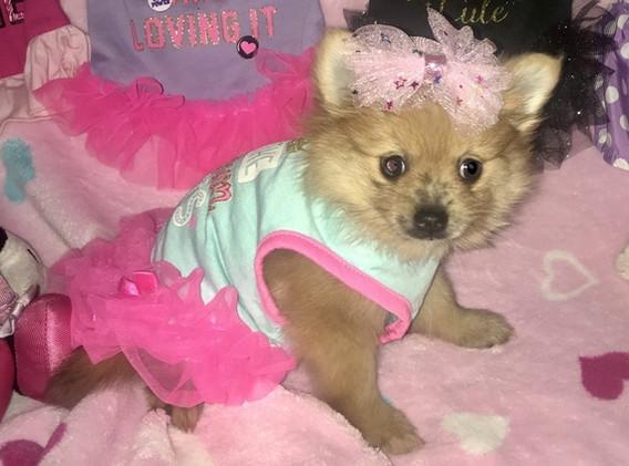 Female Pomeranian Puppy