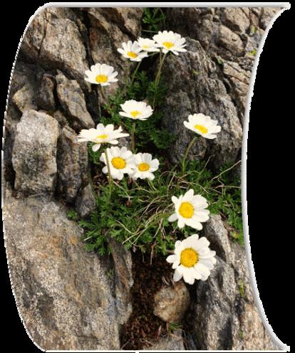 Nature_et_vous_Fleurs_de_montagne_Les_Contamines