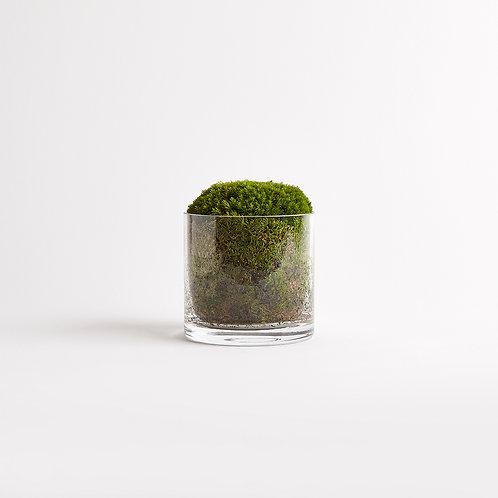 Cylindrical Moss Singular