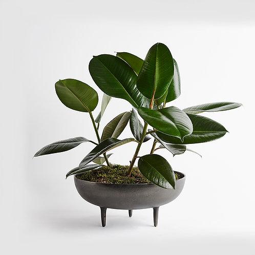 Sculptural Fig