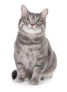 Portrait of gray tabby cat on white back