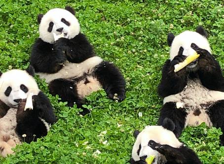 548 Giant Pandas in Captivity Worldwide in 2018