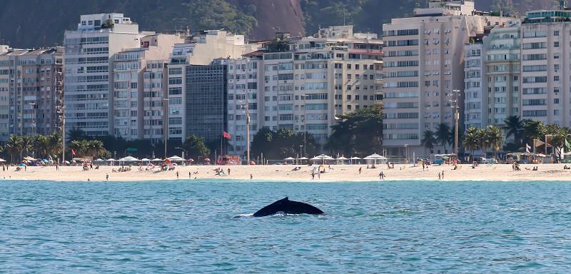 Baleia avistada da altura da Rua Siqueira Campos (Foto: Liliane Lodi / Projeto Ilhas do Rio)