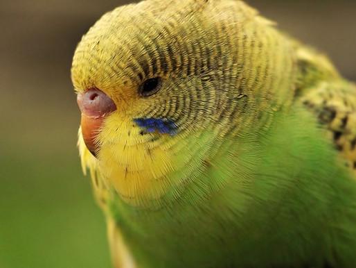 Aves pet podem ser intoxicadas após uso abusivo de medicamentos e vitaminas