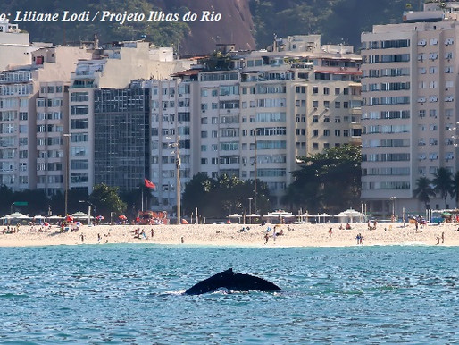 Aparição de baleias em Copacabana encanta público
