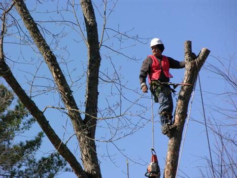 optimum tree service tree trimming (3).j