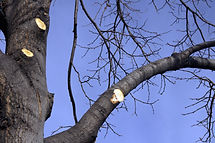 optimum tree service tree trimming (2).j