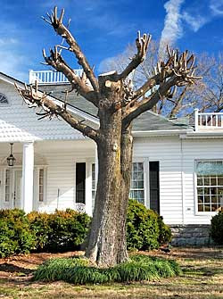 optimum tree service does not top trees