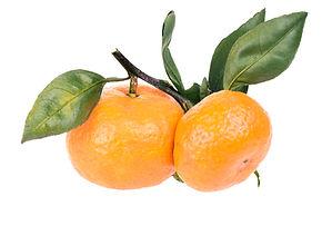 Two orange ripe Satsuma Mandarin  on a b