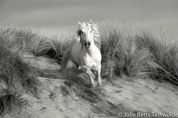 White Stallion in the Dunes