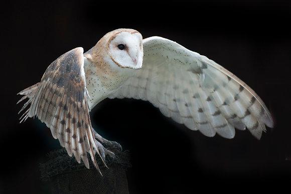 Julie Testwuide - Barn Owl