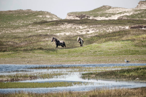 Beauties on Sable Island 1/50