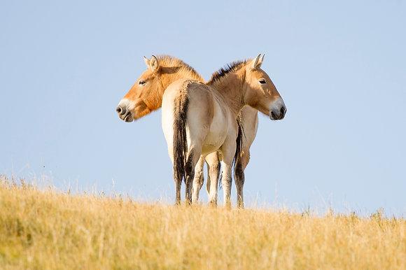 Mongolian Pair A/P