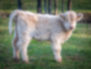 calves-1-4.jpg