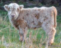 calves-1-17.jpg