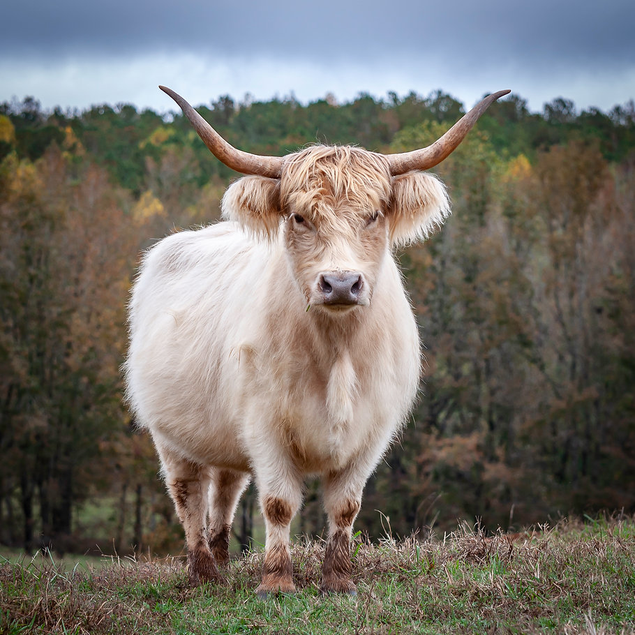 cows-1-4.jpg