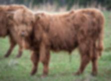calves-1-11.jpg