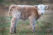 cattle-1-48.jpg