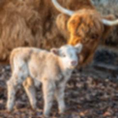 cattle-1-33.jpg
