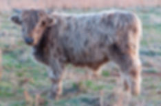cattle-1-5.jpg