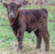 calves-1-14.jpg