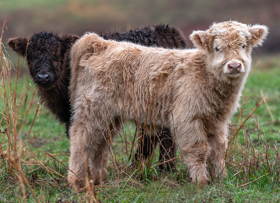 calves-1-5.jpg