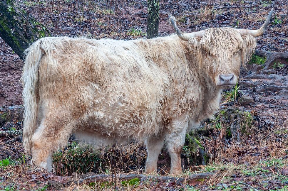 cattle-1-10.jpg