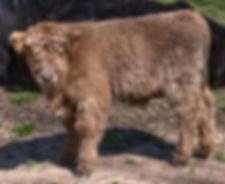 calves-1-16.jpg