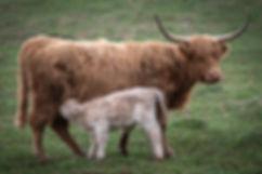 calves-1-18.jpg