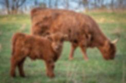 calves-1-8.jpg