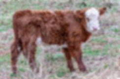 cattle-1-7.jpg