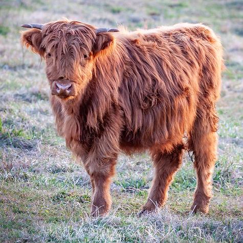 cattle-1-13.jpg