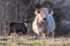 cattle-1-17.jpg
