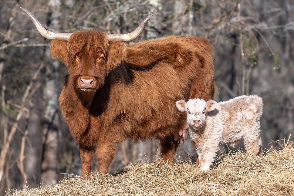 cattle-1-20.jpg
