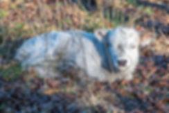 cattle-1-39.jpg