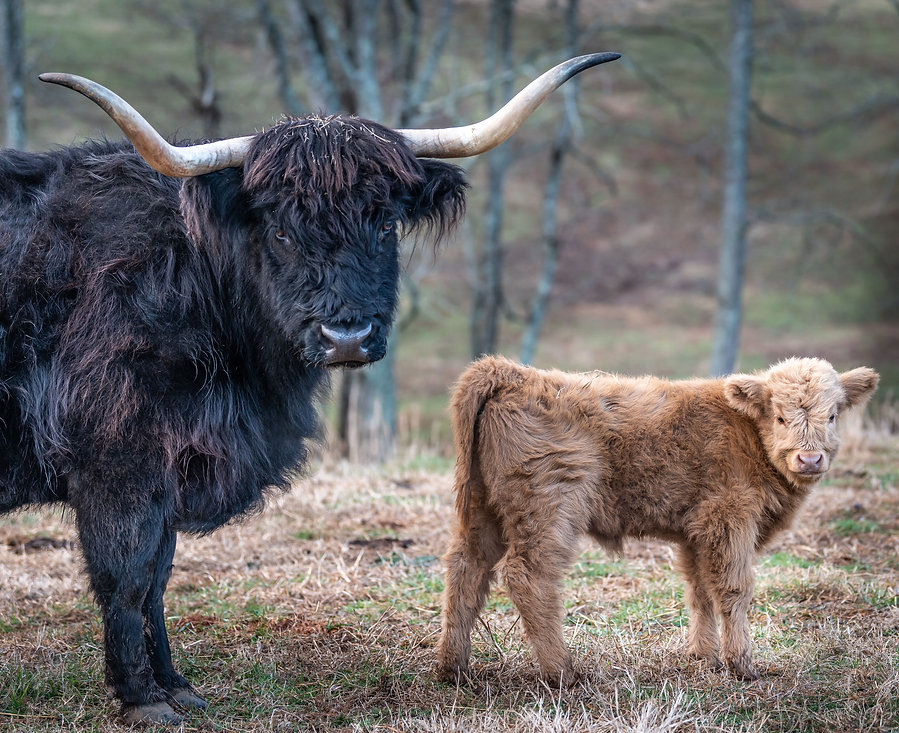 cattle-1-45.jpg