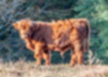 cows-1-9.jpg