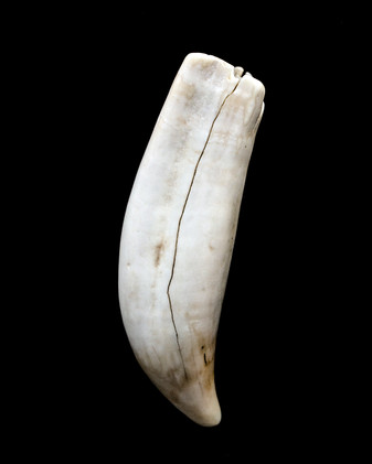 Bone or Tooth
