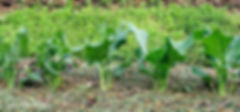 Zebu Compassionate Farming.jpg
