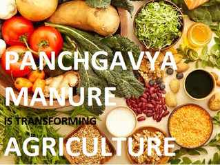 How Panchgavya Manure is Transforming Agriculture