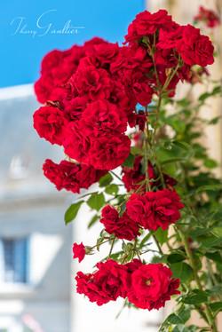 Roses grimpantes sur mur à MONTRÉSOR