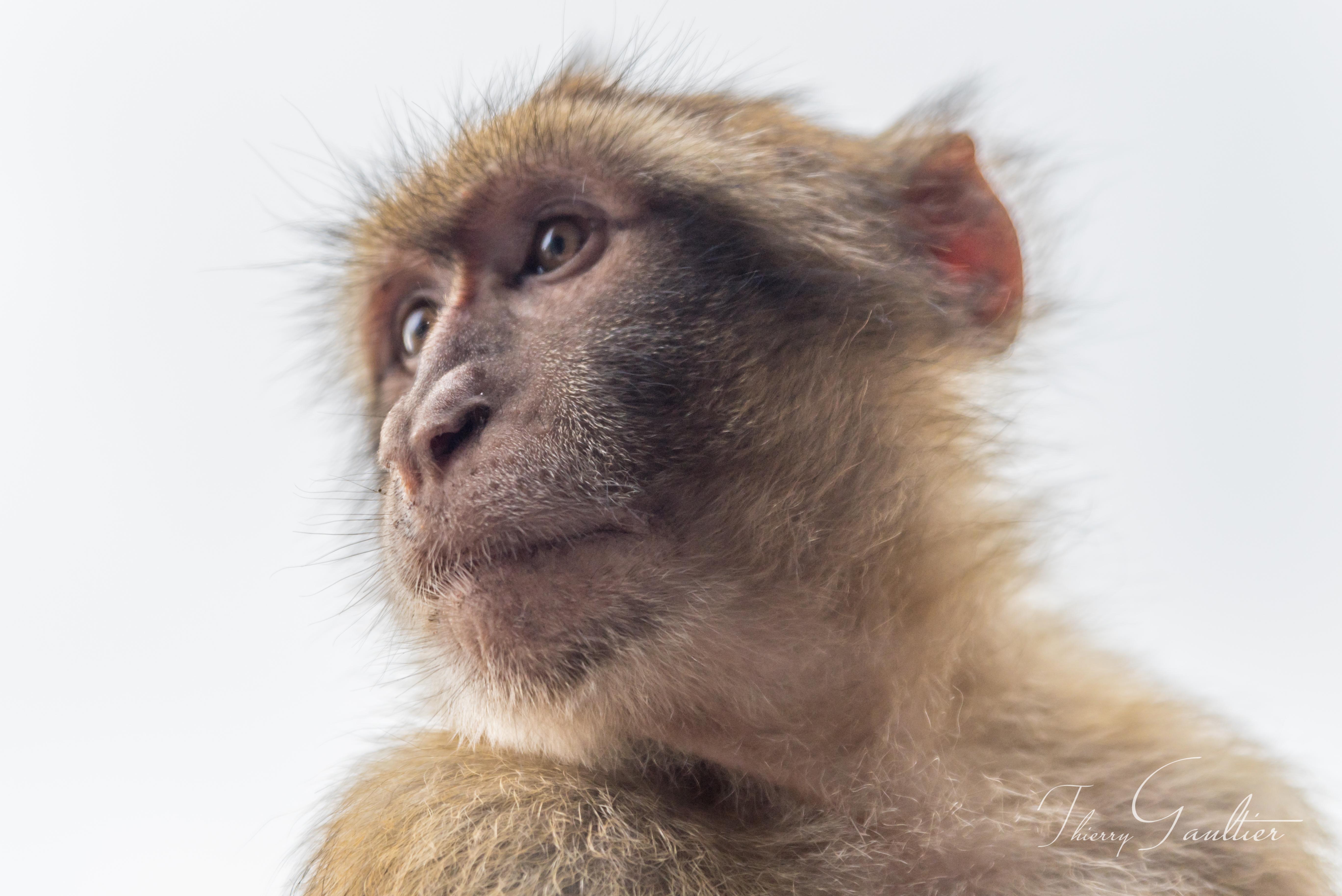 Macaque de GIBRALTAR