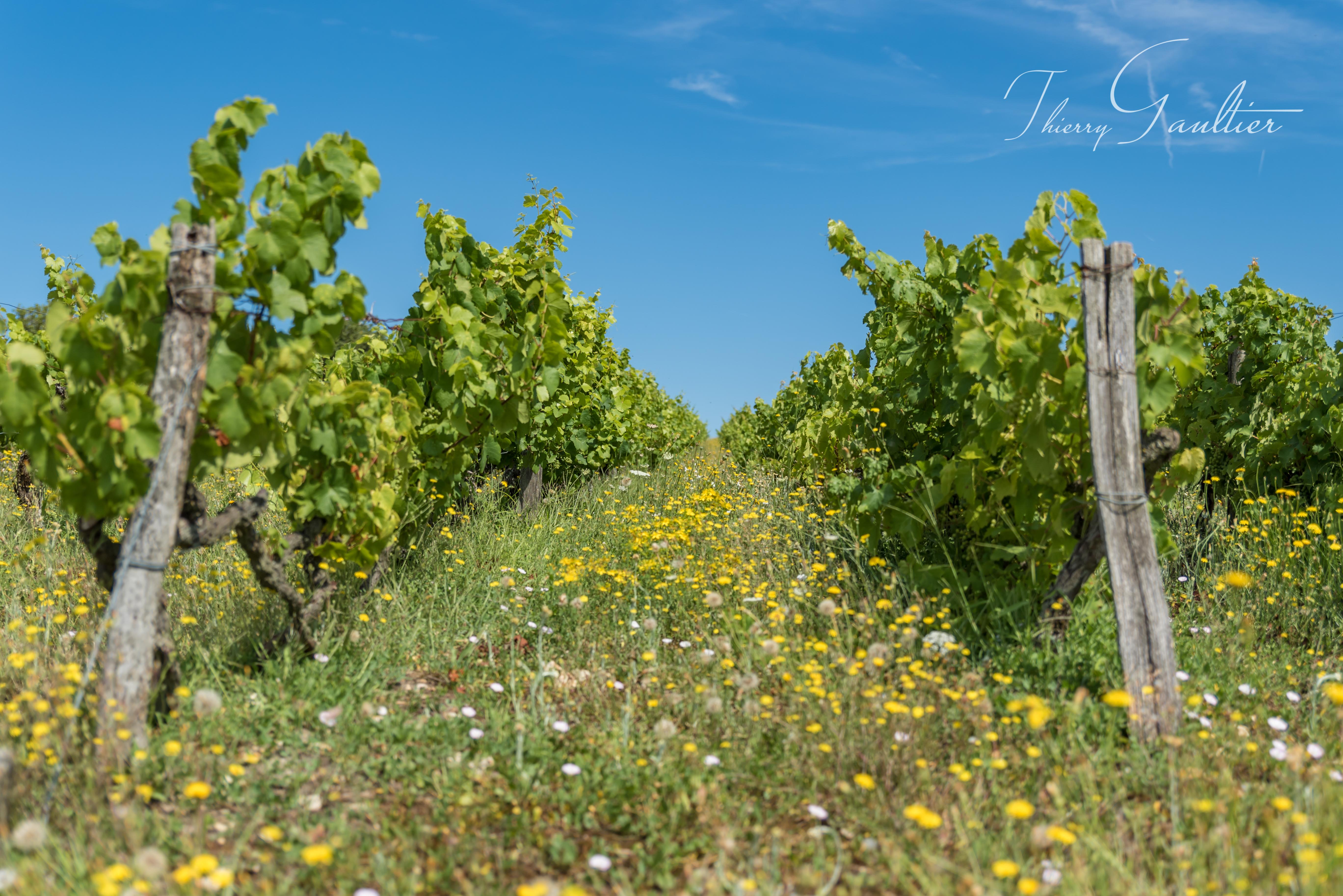 Vigne au printemps dans le LOCHOIS