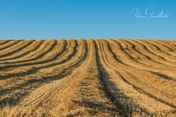 Champs de blé fraîchement récolté