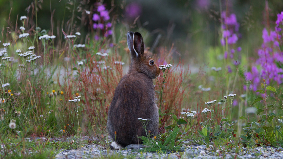 Arctic hare a late evening in July. Alta, Norway.