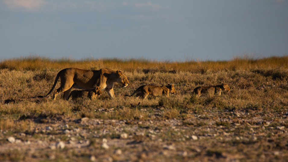 Lioness with cubs in Etosha National Park, Namibia.